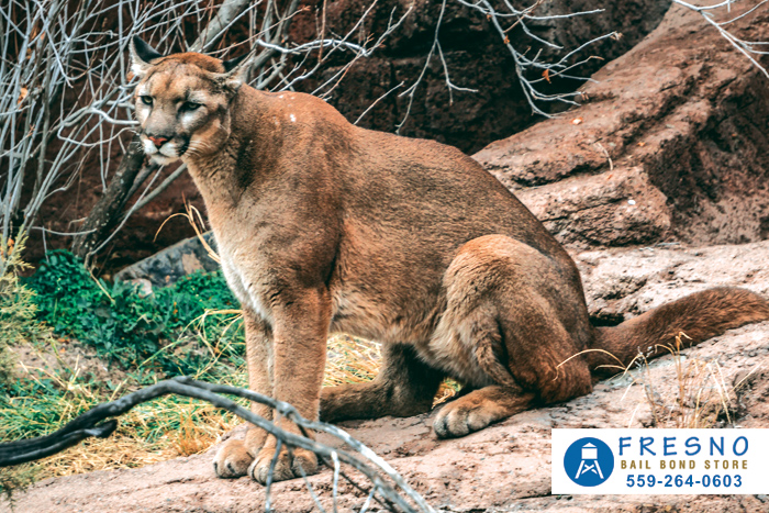 Do You Know How To Handle Mountain Lions In California?